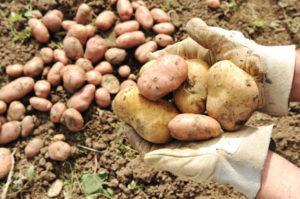 cuando-recolectar-patatas
