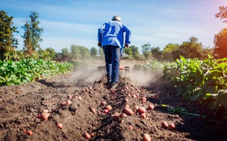 recolectar-patatas